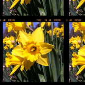 Daffodil panels