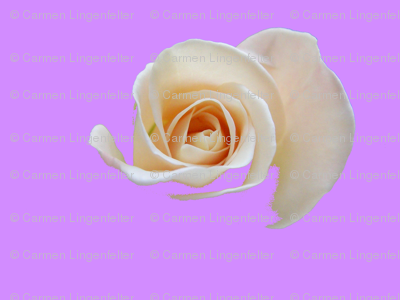 Rose on Light Purple