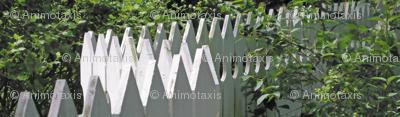 White Picket Fence Zigzag, L