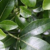 Lush Leaves
