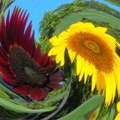 Rrsunflower_dizzy_resized_shop_thumb