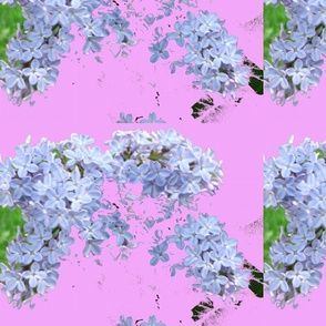Lilac_checkered