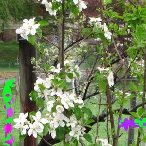 Apple_blossoms