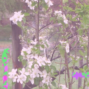 Apple_blossoms_pink_hue