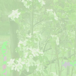 Apple_blossoms_green_hue