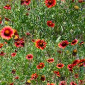 Rrrred_flowers_repeat_ii_shop_thumb