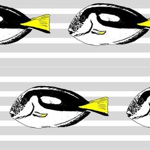 Palette Surgeonfish Grey Stripe
