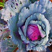 Rcabbage_31514__resized_shop_thumb