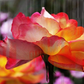 Rose 723