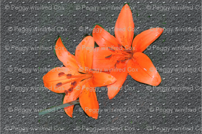 Orange Daylillies on Gray