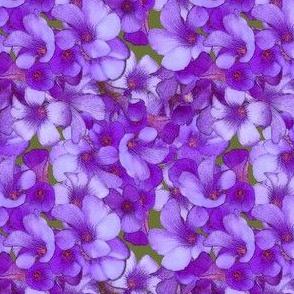 Purple Wood Sorrel - mini