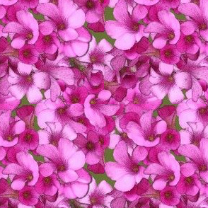 Pink Wood Sorrel - mini