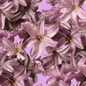 Rrhyacinth_flowers_3inch_copy_shop_thumb