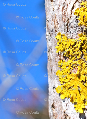 yellow lichen straight