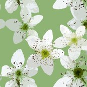 Rblackberry_blossom3_shop_thumb