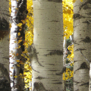 Photo Of Aspen Trees 2011
