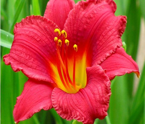 Rrdaylily_for_spoonflower_shop_preview