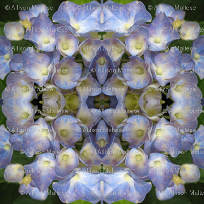Blue Hydrangea_4758