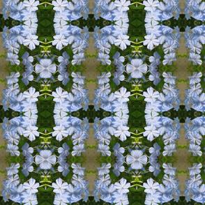 Blue Plumbago_5099