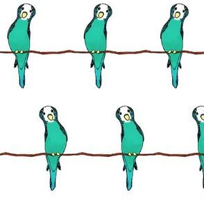 Parakeets on White