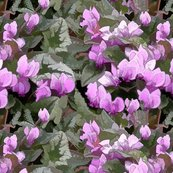 Rrcyclamen._shop_thumb
