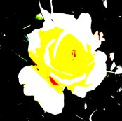 Yellow_rose_shop_thumb