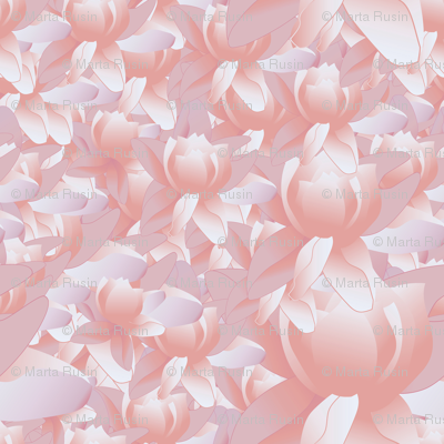 lotus blooms in pink