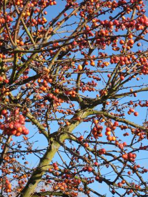 apple tree lace