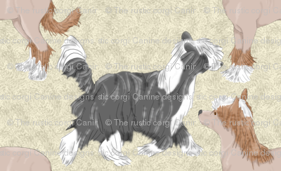 Chinese crested puppies - tan