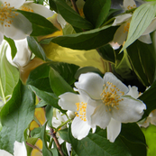 Mock-Orange Blossoms