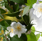 Mock-Orange Blossoms Large