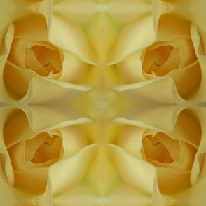 Cream Rose Blooming