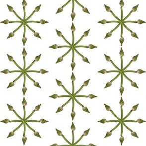 Agapanthus Arrows