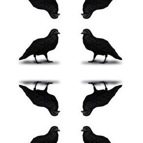 American Crow