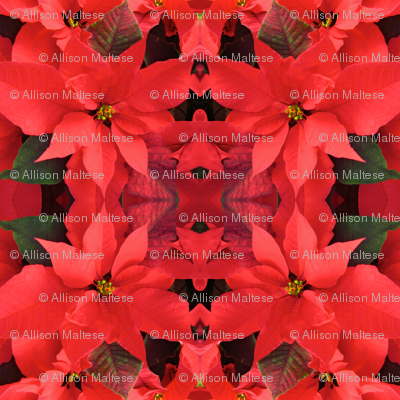 Red Poinsettias_2518
