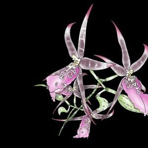 Star Orchid