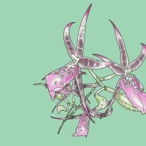 Star Orchid-Seafoam green 24colors