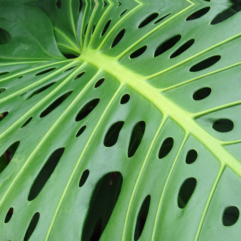 Monstera Leaf Philodendrum fabric by susaninparis on Spoonflower - custom fabric