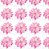 hot pink zinnia