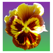 pansy_pattern