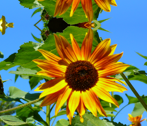 orangey_yellow_sunflower1