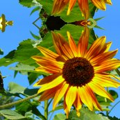 Rorangey_yellow_sunflower1_shop_thumb