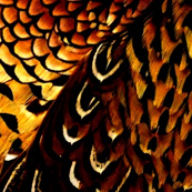 Fall pheasant black