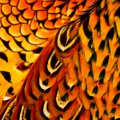 Fall pheasant 