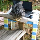 typing chicken