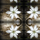 White_Clematis_on_Grey-4