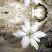 White_Clematis_on_Grey-3