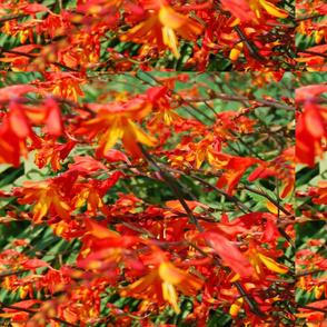 Monbretia flowers