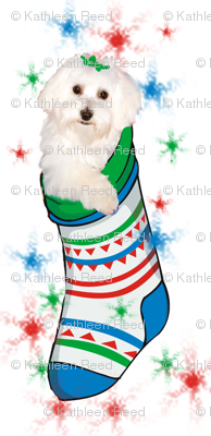 Bichon_in_stocking