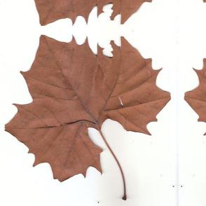 big_leaf